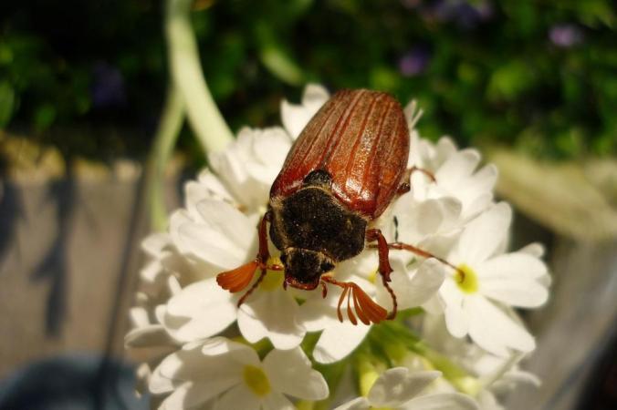 Der Mai kommt - und mit ihm sicher auch der eine oder andere Käfer. Wer hat schon einen gesehen? Foto: Lars Friedrich/Hattingen